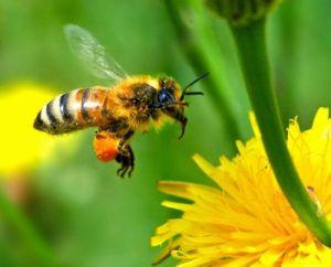 Μέλισσα που μεταφέρει γύρη