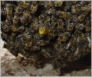 Σφήκα που επιτίθεται σε μέλισσες