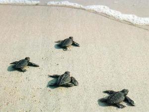 Τα χελωνάκια τρέχουν στο νερό